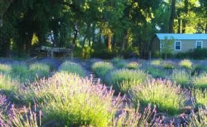 Santa Fe - Purple Adobe Lavender Farm